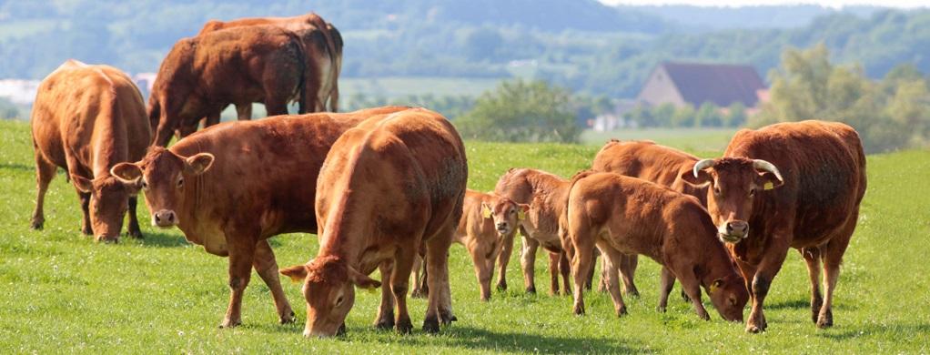 Vacas-pastando-800x6002
